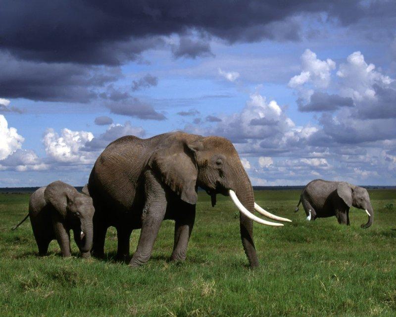 2000 г. Пигмеи Центральной Африки охотятся на слона с ритуальными целями